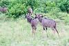 Kudu Chobe_14-03-08__O6B1330