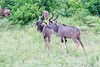 Kudu Chobe_14-03-08__O6B1331