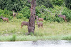 Kudu Chobe_14-03-08__O6B1310