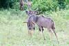 Kudu Chobe_14-03-08__O6B1336