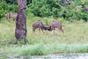 Kudu Chobe_14-03-08__O6B1318