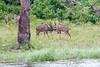 Kudu Chobe_14-03-08__O6B1317