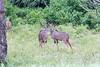 Kudu Chobe_14-03-08__O6B1325
