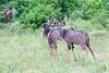 Kudu Chobe_14-03-08__O6B1333