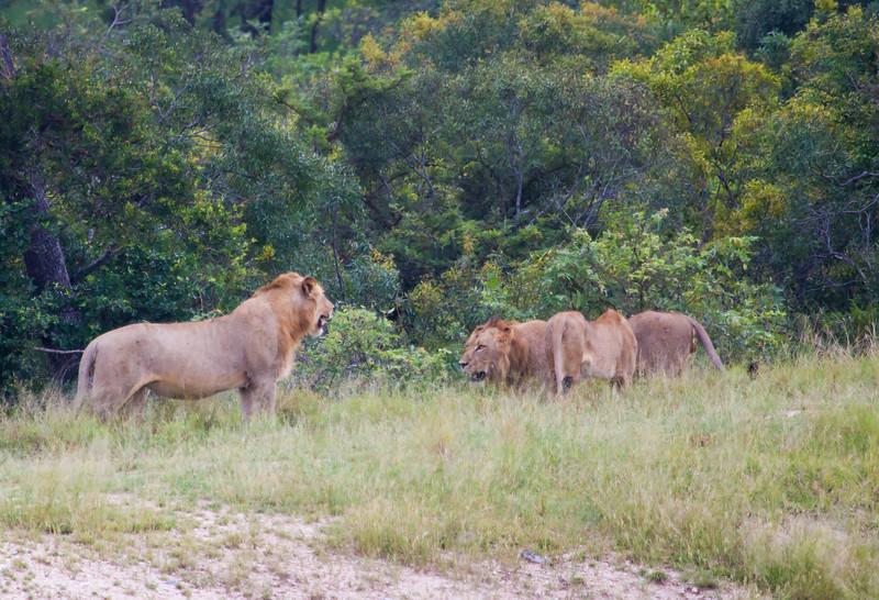 Lion Ngala_14-03-18__O6B3046