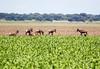 Tsessebe RdBotswana_14-03-06__O6B0825
