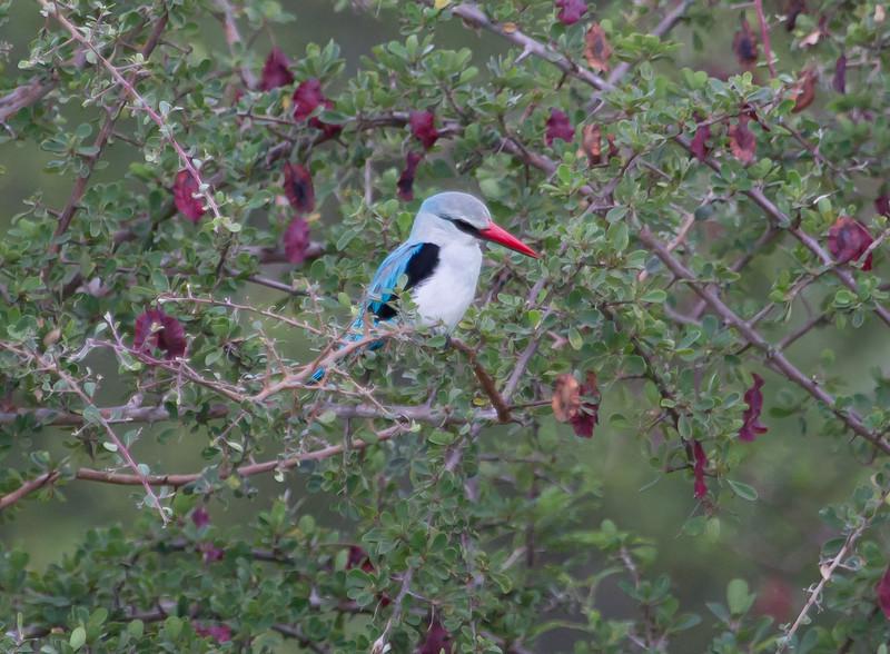 WoodlandKingfisher Kruger_14-03-02__O6B0252