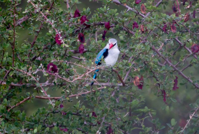 WoodlandKingfisher Kruger_14-03-02__O6B0250
