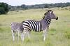 Zebra Khama_14-03-13__O6B1990
