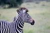 Zebra Khama_14-03-13__O6B1983