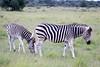 Zebra Khama_14-03-13__O6B1988
