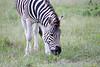 Zebra Khama_14-03-13__O6B1987