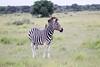 Zebra Khama_14-03-13__O6B1985