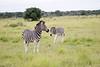 Zebra Khama_14-03-13__O6B1986