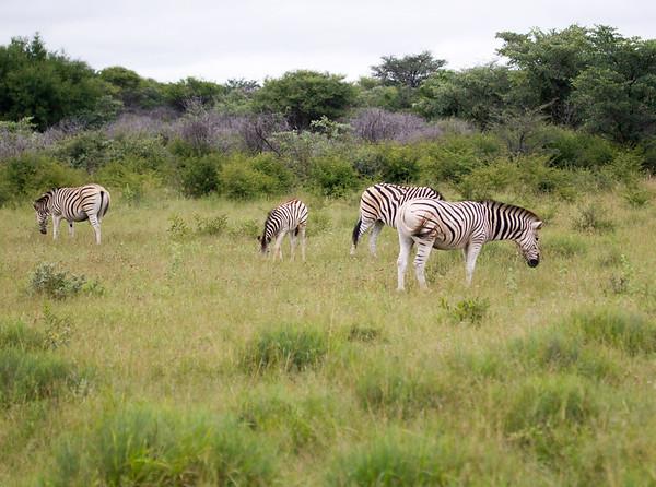 Zebra Khama_14-03-13__O6B1928