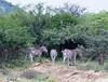 Zebra Kruger_14-03-01__O6B0085