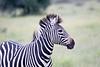 Zebra Khama_14-03-13__O6B1984