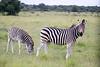 Zebra Khama_14-03-13__O6B1989