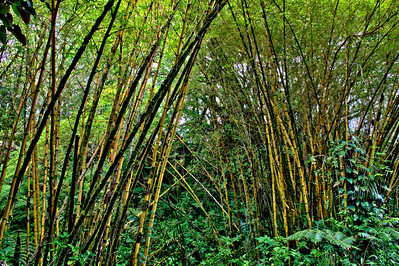 Bamboo forest in Akaka Falls State Park