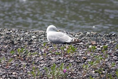 Mew Gull_08-07-03_08-07-03_Denali NP_0050