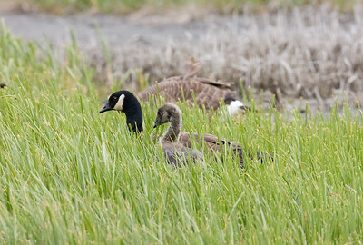 08-07-07_Canada Geese_08-07-07_0016_0016