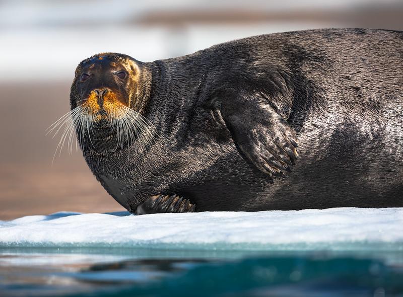 Resting Bearded Seal