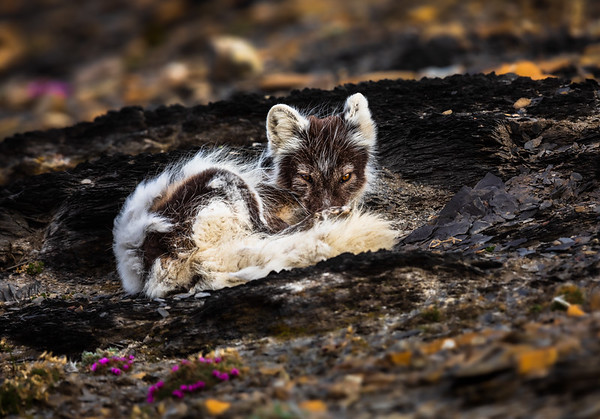 Watchful Arctic Fox