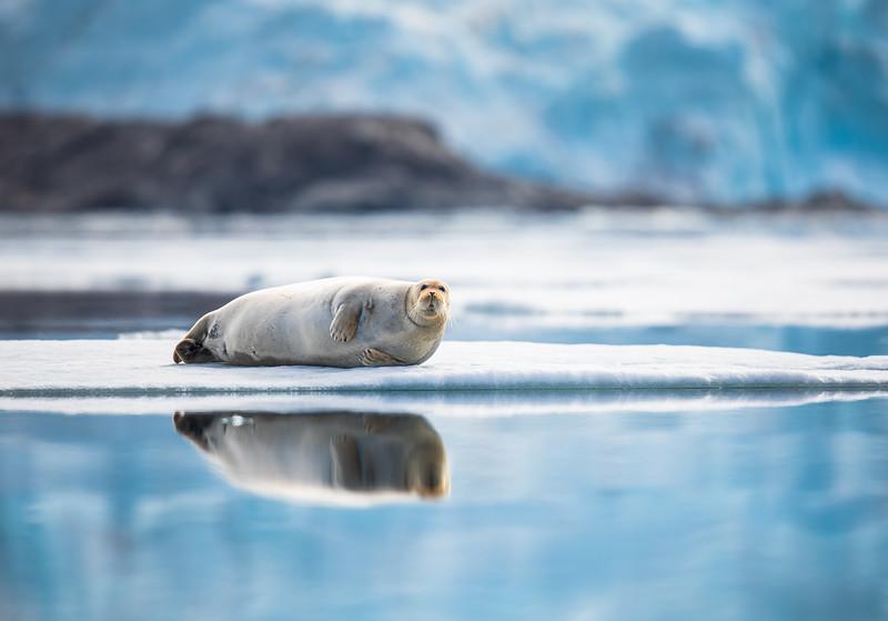 Posing Bearded Seal