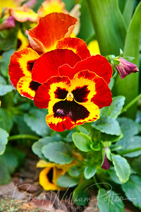 1396-Pansy