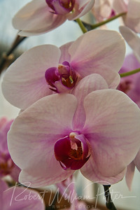 1544-White Orchid