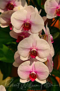 1518-White Orchid