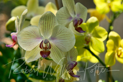 1448-Yellow Orchid