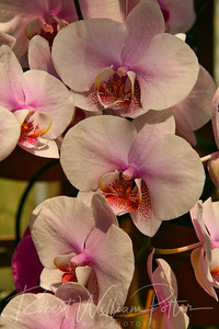 1516-White Orchid