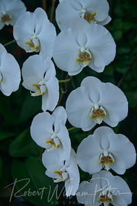 1442-White Orchid