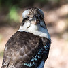 Kookaburra at our room at Castaways