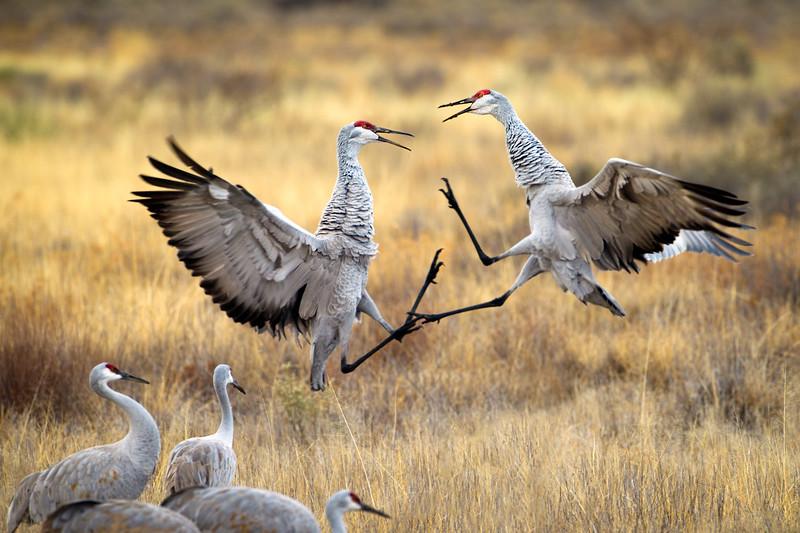 Dueling Cranes