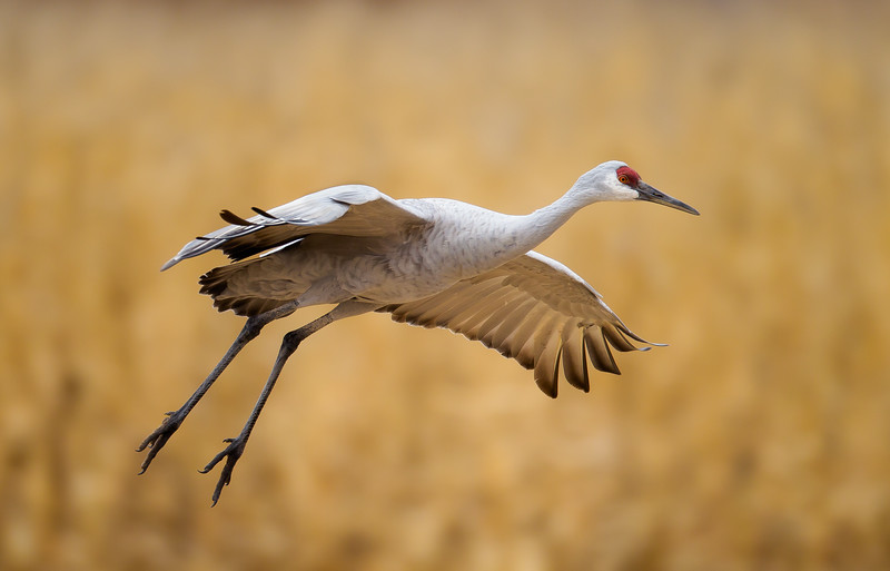 Sandhill Crane Gliding