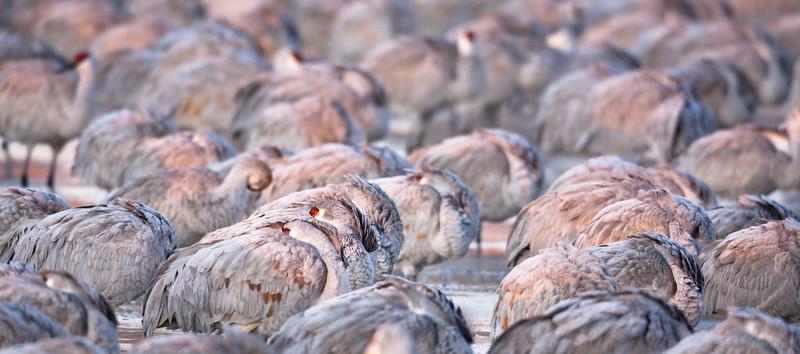 Cold Sandhill Cranes