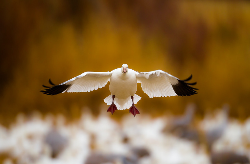 Snow Goose Approach