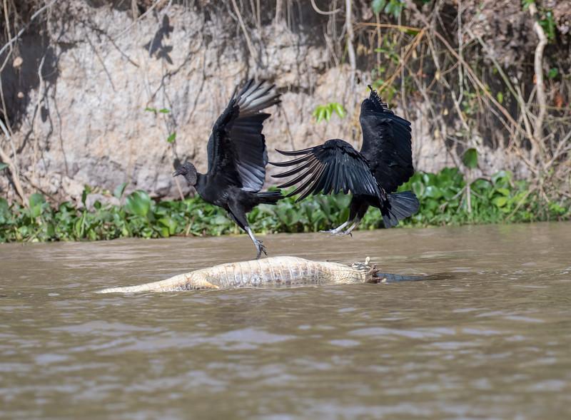 Black Vultures, dead Caiman