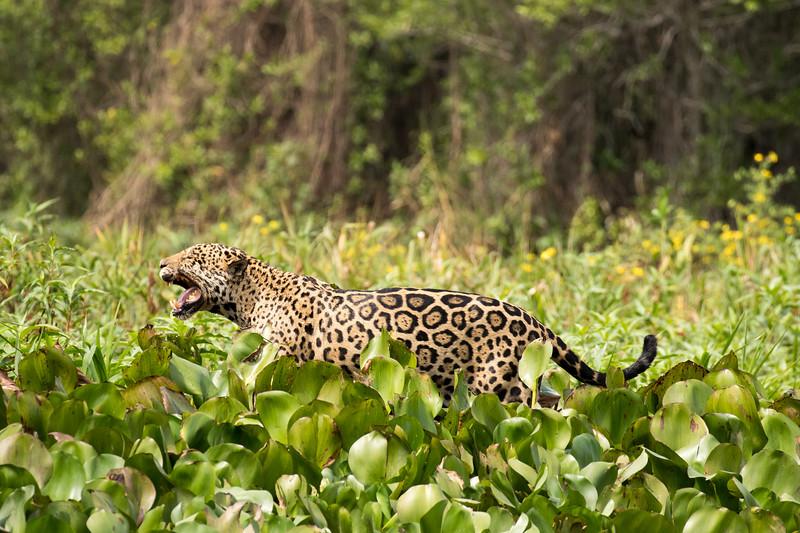 Jaguar Roars