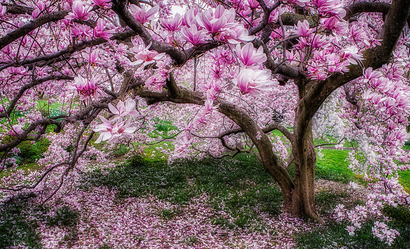 Magnolia Tree in Spring