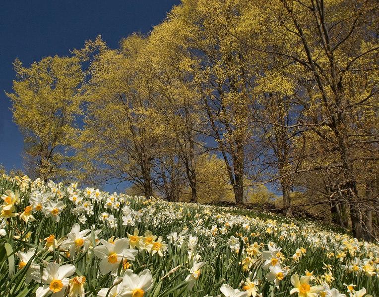 6462-daffodils 11x14 printed