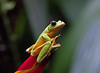 Gliding Tree Frog