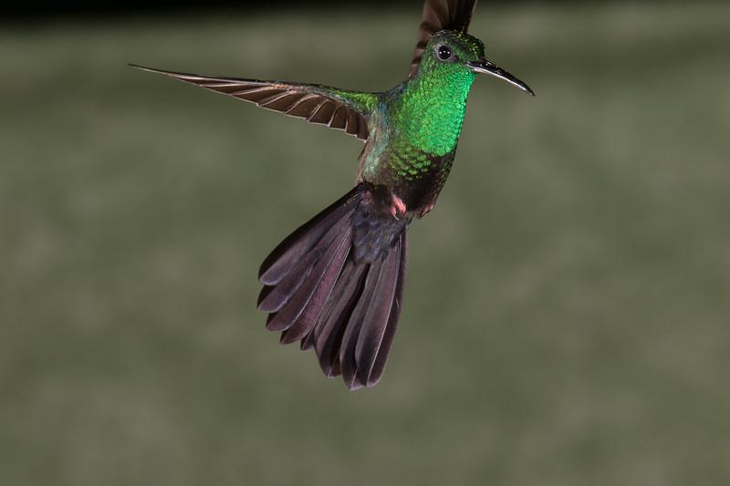 Bronze-tailed Plumeleteer