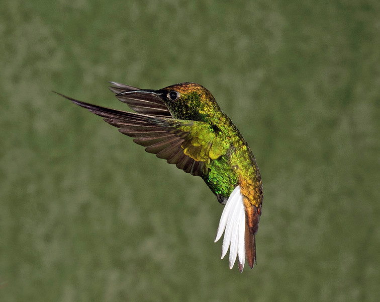 Coppery-headed Emerald
