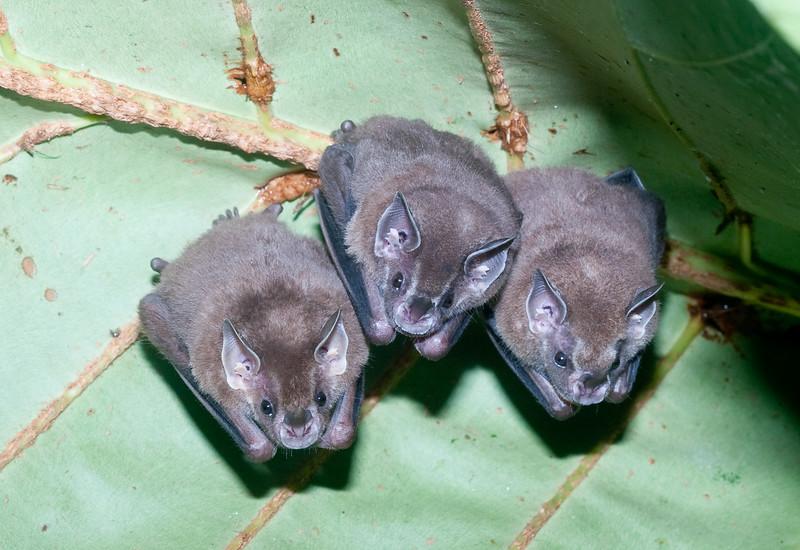 Tent Bats