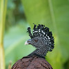 Great Curassow, female