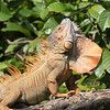 Iguana, showing off his dewlap