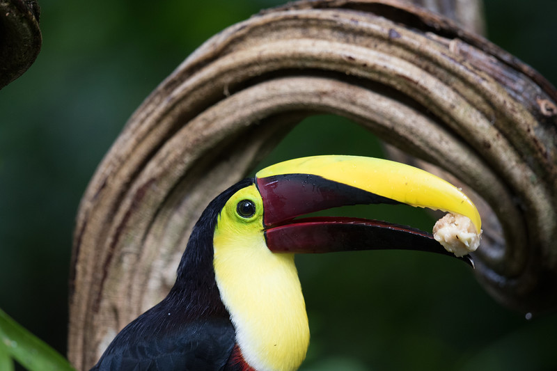 Yellow-throated Toucan (previously Chestnut-mandibled Toucan)